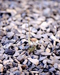 Stubborn weed (vinnie saxon) Tags: weed grass rocks stones nature focus bokeh nikoniste nikon d600