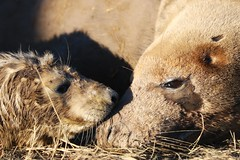 New born grey seal cub and mother (robin denton) Tags: seal pup greyseal seals animal nature wildlife lwt lincolnshirewildlifetrust wildlifetrust halichoerusgrypus