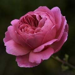 Hello...British Wintertime starts today... (bonnevillekid) Tags: rose gmt