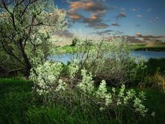 Russian Olive branch (mrbillt6) Tags: northdakota landscape outdoors tree russianolive water pond sky rural prairie plains