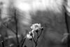 IMG_9990 (::Lens a Lot::) Tags: paris | 2016 rollei rolleinarmc 85 mm f 28 1978 6 blades iris qbm f28 bokeh depth field flower vintage manual close up german germany west made japan fixed prime lens extérieur fleur plante profondeur de champ black white bw