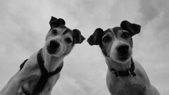 20160812_180226 (andreaperdacher) Tags: dogs blackandwhite terrier jackrussell animals