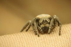 Velvet spider's journey 3 (Mika Andrianoelison) Tags: k3 madagascar macro closeup animal nature wildlife fauna bug justpentax taxonomy:family=eresidae velvet spider hairy weird