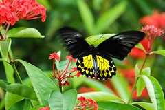The Common Birdwing (Troides helena cerberus) (Robert-Ang) Tags: thecommonbirdwing plant flowers fluttering jurongecogarden singapore leaves troideshelenacerberus