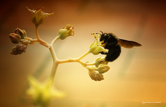 black bee (pmies photo) Tags: blackbee bee insect nature flowers yellow black