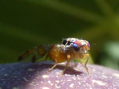 Ceratitis capitata (bego vega) Tags: diptera dptero mosca fly ceratitis capitata mediterranean fruit macro madrid bv bego vega vf insecto insect animal tephritidae