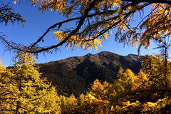 Golden pine trees (Mel s away) Tags: daocheng sichuan china    chanmelmel melinda melmel mtchenresig  pine golden tree plant mountain snowmountain mel melindachan larch   nature reserve