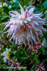 Dahlie (Bernsteindrache7) Tags: autumn sony alpha 100 color flora fauna flower garden bloom blossom blume outdoor park landscape