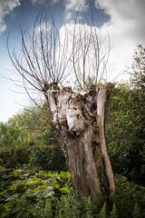 A typical Flemish pollard willow (paul indigo) Tags: belgium paulindigo hedge landscape natural pollard tree willow wood