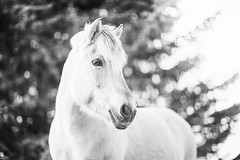 (ingrid.schnelle) Tags: canon eos 5d mark ii ef85mm f12l usm horse equine horsephotographer equinephotographer horseportrait outdoors outdoor norge norway dreamy dof 2016 horsephotography equestrian equinephotography magical hest animal pferd depth field bokeh black background fjording fjordhest fjordhorse white bw