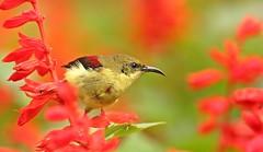 Crimson Backed Sunbird (NeeluWild) Tags: sunbird passerine westernghats birdphotography birds indianbirds birdsofindia birdsofwesternghats birdsofooty ootybirds gardenbirds insaynwildphotography neeluphotography neelakantan