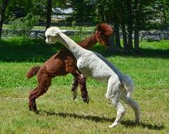 La danza degli alpaca (giorgiorodano46) Tags: agosto2016 august 2016 giorgiorodano nikon champoluc valdaosta alpaca valdayas animali animals valléedaoste italy