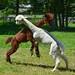 La danza degli alpaca