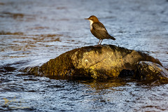 Dipper (Explored 18 November 2016) (ABPhotosUK) Tags: animals autumn birds canon dartmoor devon dipper dippers ef100400mmisii eos7dmarkii rivertavy seasons wildlife