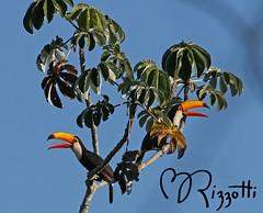 "Toco Toucan ""The Bookends"" (girlslens) Tags: tocotoucan toucan"
