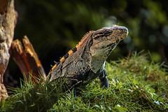 Iguana (darkpatator) Tags: iguana iguane playa del carmen yucatan macro prehistoric cute dragon frdric dupont darkpatator fredericdupontfr mexique mexico holidays