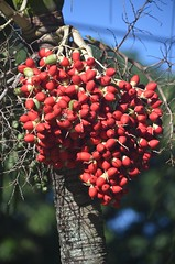 Christmas Palm seeds right on schedule! (jungle mama) Tags: palm christmaspalm seed tropicaltree red christmas palmseed palmcluster