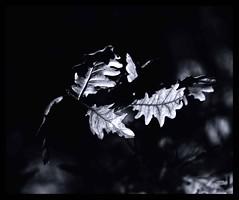 Oak (bigtalljohn) Tags: mamiya rb67 invernessshire adox cms20 ishootfilm ibelieveinfilm copse