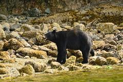 Black Bears British Columbia (bursar103) Tags: blackbear bristishcolumbia canada