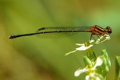 Orange Threadtail Damselfly - Nososticta solida (Tortie Cat) Tags: orangethreadtaildamselfly damselfly nosostictasolida australian nikon