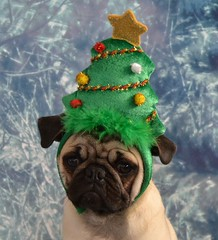 Christmas Tree Pug (DaPuglet) Tags: pug puppy dog christmas tree holiday festive cute funny christmastree animals pets dapuglet boothepug