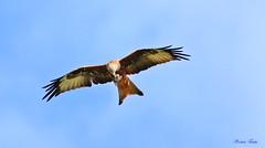 Nibbio Reale - Red Kite ( Milvus Milvus ) (Michele Fadda) Tags: canoneos70d sigma150600mmf563dgoshsm|contemporary015 sigma150600c sardinia sardegna italy redkite milvusmilvus nibbioreale nature natura avifauna bird volatile volo flight uccello faunaprotetta rapace raptor falco photoscape