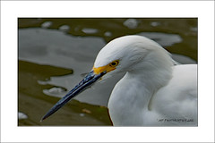 Egret (prendergasttony) Tags: elements avian bird outdoors naure nikon d7200 water florida usa beach america jacksonville white yellow egret snowy beak egretta thula closeup
