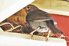 IMG_3 Canon 300mm 6856 (rustyrh52) Tags: bird nesting under verandah