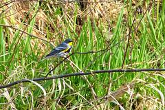 Yellow-rumped Warbler (Audubon) (Delta Naturalists Casual Birding) Tags: 201414 dncb colony dncblocation