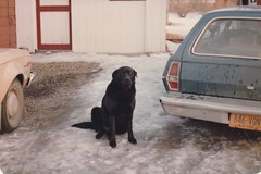 PARKER BY THE PINTO IN 1984 (richie 59) Tags: fordmotorcompany ford winter townofesopusny townofesopus stremyny stremy outside americanmotors fordpinto pinto pet olddays oldpicture oldphoto film dog petdog jan1984 1984 photoscan 1980s 35mmfilm 35mm filmcamera filmphotography jan281984 1974fordpinto 1974pinto 1974ford 1970scars americancars uscars automobiles autos motorvehicles vehicles cars backend taillights fomoco hudsonvalley midhudsonvalley midhudson nystate nys ny usa us snow frontyard yard driveway trees tancar bluecar oldcars old blackdog gravel blacklab