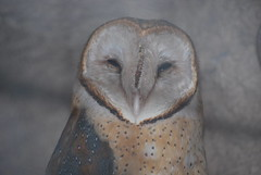 Tyto alba DT [G Zoo El Pantanal] (1) (Archivo Murcilago Blanco) Tags: alba strigiformes lechuza tyto tytonidae tirira diegotirira archivomurcielagoblanco