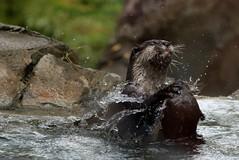 Dunk! (IMG_4507) (katalin_kerekes) Tags: water play otter asiansmallclawedotter otterfamily aonyxcinereus smithsoniansnationalzoo