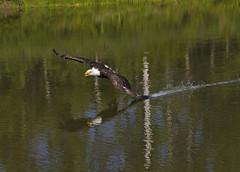 Bald eagle  workshop (a56jewell) Tags: summer bird water pond eagle workshop aug a56jewell