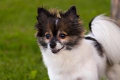 Dexter (vermaasmedia) Tags: dog chihuahua pier dexter pomeranian hoboken pomchi