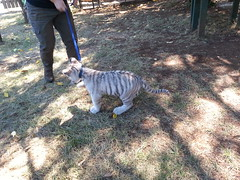 20150919_120028 (mjfmjfmjf) Tags: oregon zoo tigercub 2015 greatcatsworldpark