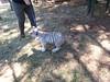 20150919_120028 (mjfmjfmjf) Tags: oregon zoo tigercub 2015 greatcatsworldpark