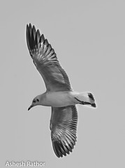 Brown headed gull (asheshr) Tags: blackandwhite bird monochrome mono gull blacknwhite gullinflight brownheadedgull monochromeofabird blackandwhiteimageofabird