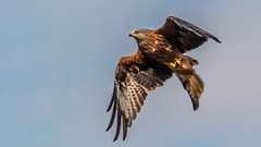Lord Harewood (davidrhall1234) Tags: bird nature birds nikon wildlife raptor birdsofprey scruffy redkite rspb birdsofbritain nikond7100