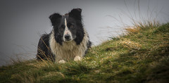 46/52 Mist in the Mist (JJFET) Tags: 52 weeks for dogs 46 mist border collie dog mountain