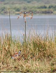 Waterbuck and Kingfisher (meredith_nutting) Tags: africa baby young rwanda kingfisher calf waterbuck eastafrica piedkingfisher camoflague easternafrica