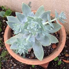 Dudleya ready to bloom. (Reggie1) Tags: dudleya