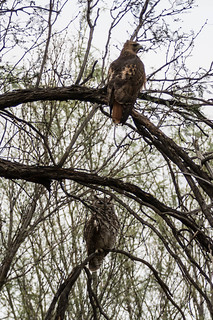 Red-tailed Hawk and Great-horned Owl in same tree