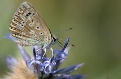 Le Bleu-nacr - Lysandra coridon -  (michel lherm) Tags: papillons lpidoptres lysandracoridon rhopalocres lebleunacr