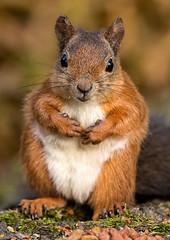 Red Squirrel (tamsteer06) Tags: nikon squirrel squirrels wildlife scottish redsquirrel d4s