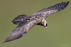 Bearded Vulture. Giants Castle, South Africa. (dylandestpern) Tags: wild bird nature birds wildlife vulture nationalgeographic bifs