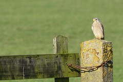 _DSC5235 Torenvalk : Faucon crecerelle : Falco tinnunculus : Turmfalke : Common Kestrel