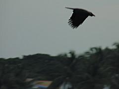 Bird Watching - Classic Take Off - Black Beauty (sureba67) Tags: nature birds photograph crows birdwatching birdinflight birdtakeoff sureba67 niftybaba babusuresh