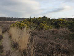 Springfeelings in wintertime, genista blooming at Posbank (at https://youtu.be/pChu4i_qFE0) Tags: yellow landscape postbank broom veluwe genista
