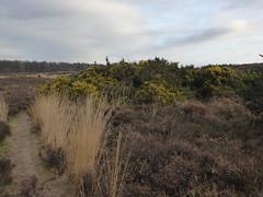 Springfeelings in wintertime, genista blooming at Posbank (Alta alatis patent) Tags: yellow landscape postbank broom veluwe genista