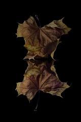Bowing Maple Leaf (KellarW) Tags: autumnleaf colorfulleaf singleleaf negativespace mapleleaf leaf isolatednature autumnalcolors autumnal fall fallleaf leaves autumnalleaves fallcolors autumnalleaf autumnleaves autumn brownleaf isolated onblack fallleaves colorfulfoiliage
